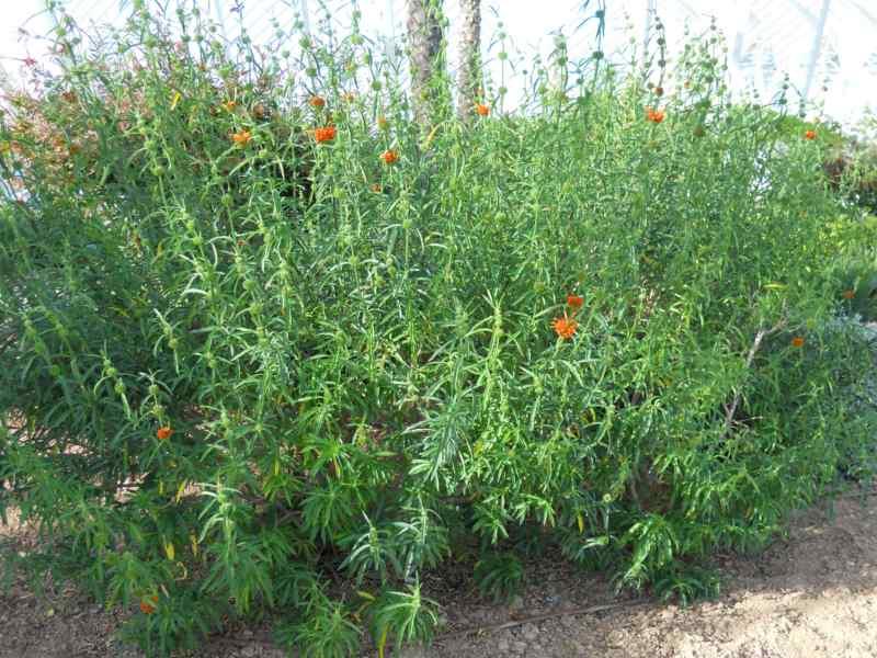 Jardineros en acci n leonotis leonorus for Planta decorativa toxica