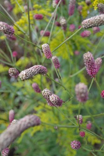 SANGUISORBA tenuifolia 'Big Pink'