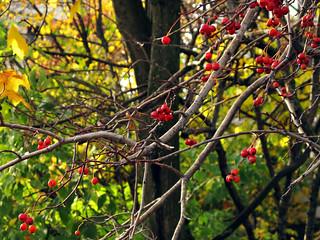 (285/365) Ripe berries