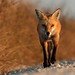 Beautiful little red fox to end the day. by Inland Bay Photography