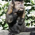 monkey - Macaco Prego (Cebus apella)