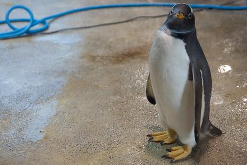 ペンギン by taroimo / タロイモ
