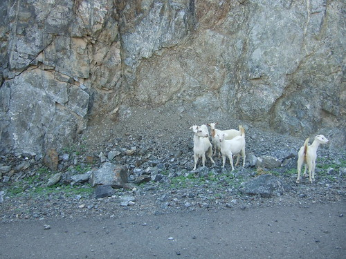 Herd of Roadside Mountain Goats