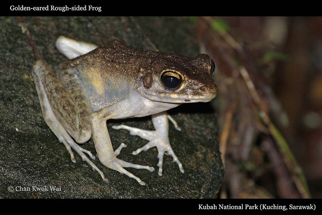 Golden-eared Rough-sided Frog