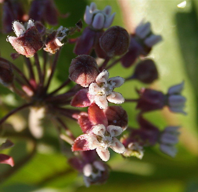 Milkweed Flowers, July 2010