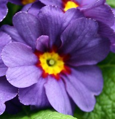 violet in close-up