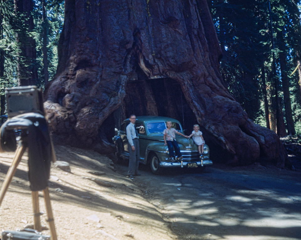 1946, Yosemite Tunnel Tree