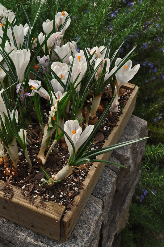 Crocus Box
