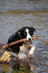 entlebucher mountain dog(0.0), animal(1.0), dog(1.0), pet(1.0), mammal(1.0), greater swiss mountain dog(1.0), bernese mountain dog(1.0),