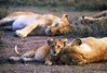 Lion cub and lioness snoozing