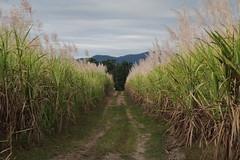 Large depth of field - sugar cane