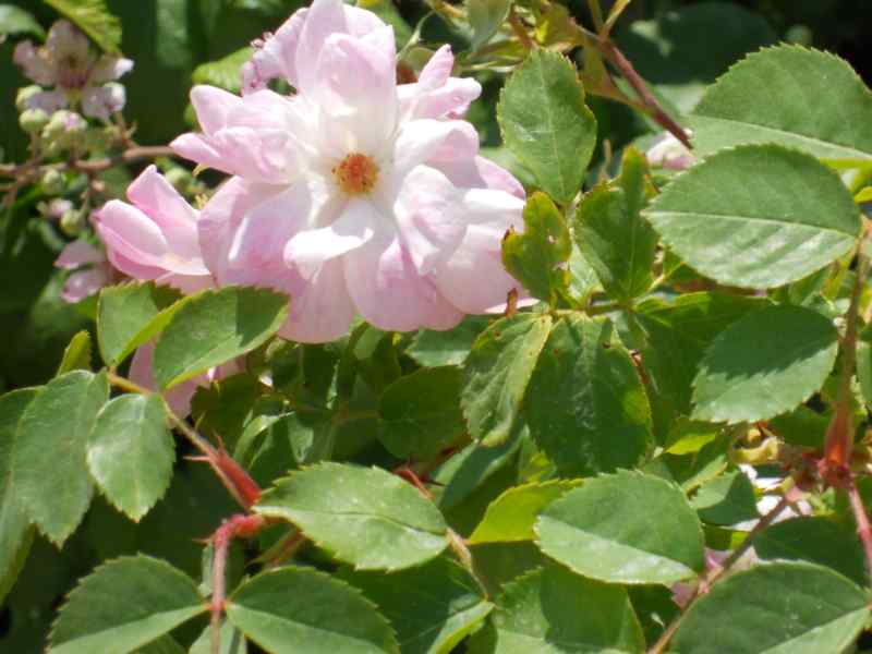 Rosa damascena 2