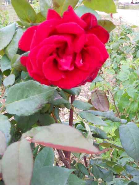 Rosa grandiflora 'Mister Lincoln' v 3