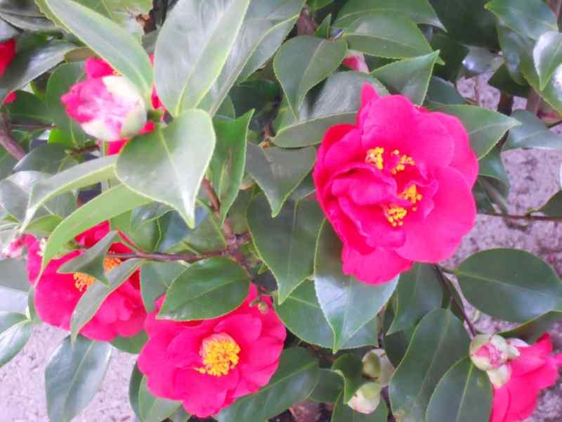 Camellia japonica 'Comte de Gomer' 4