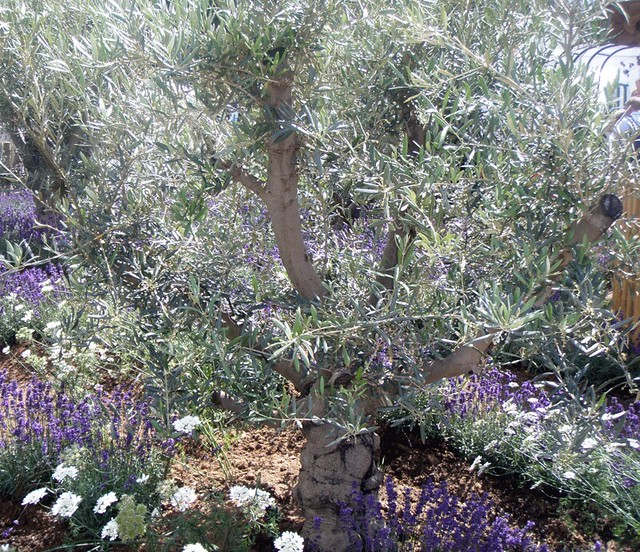 olive tree and lavender at the rhs edible garden stand