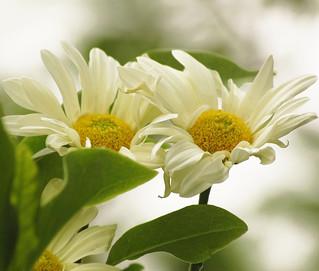 Quinta Flower in Peace! (Explore 05/10/2011)