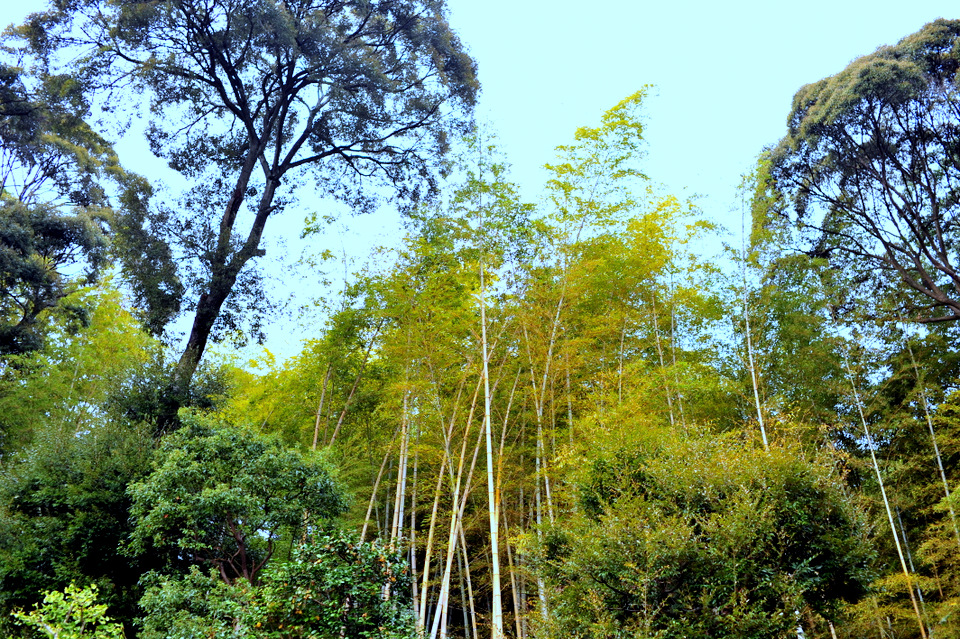 Tall bamboo growing in this area