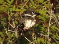 Belted Kingfisher, Merritt Island NWR, FL