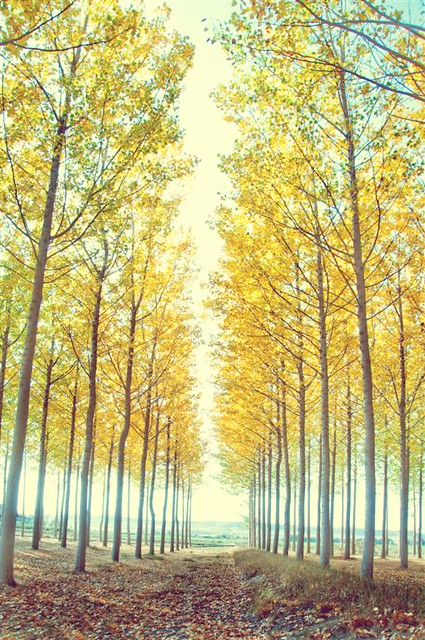 soft talk of poplar trees