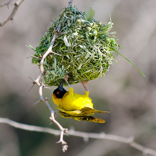 Cape Weaver - Lake Baringo - Kenya