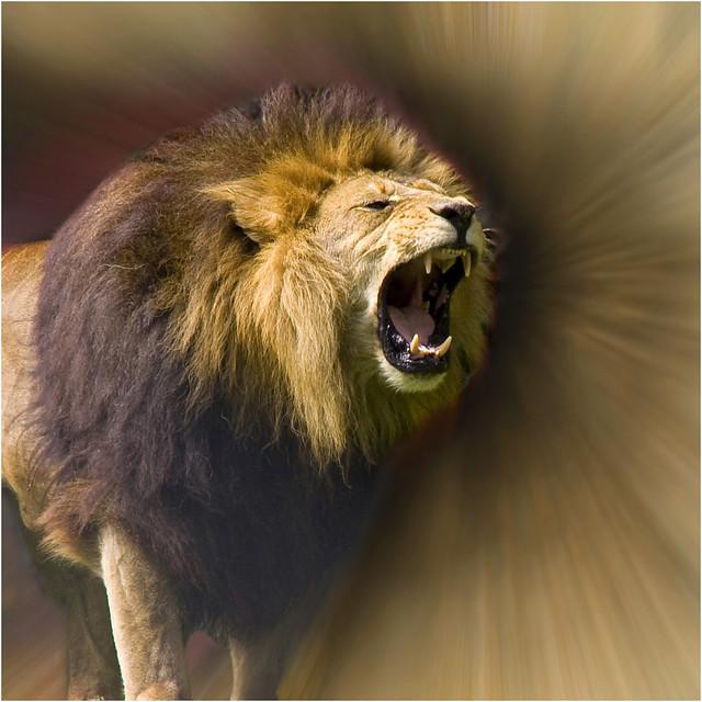 Lions Roar