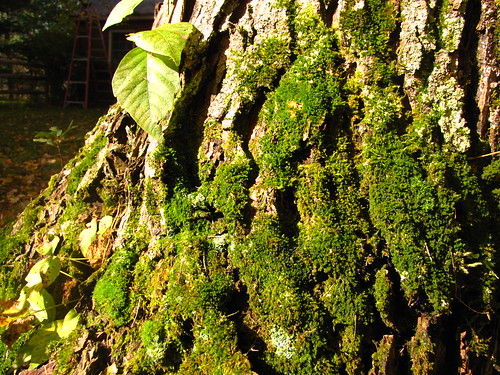 Moss on the Maple tree