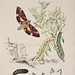Australian lepidoptera and their transformations, drawn from the life v.2