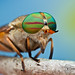 Tabanus fulvulus by Colin Hutton Photography