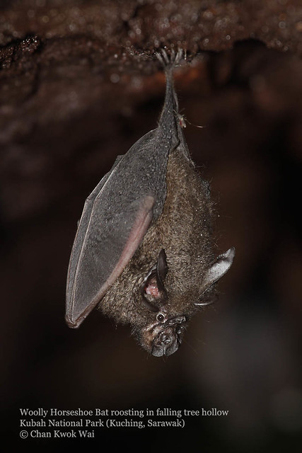 003Woolly Horseshoe Bat roosting in hollow fallen tree