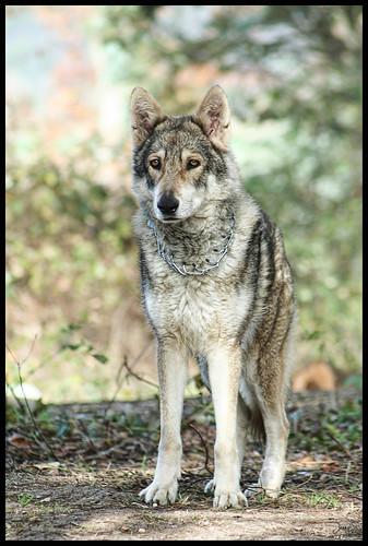 Tawa chien loup de Saarloos