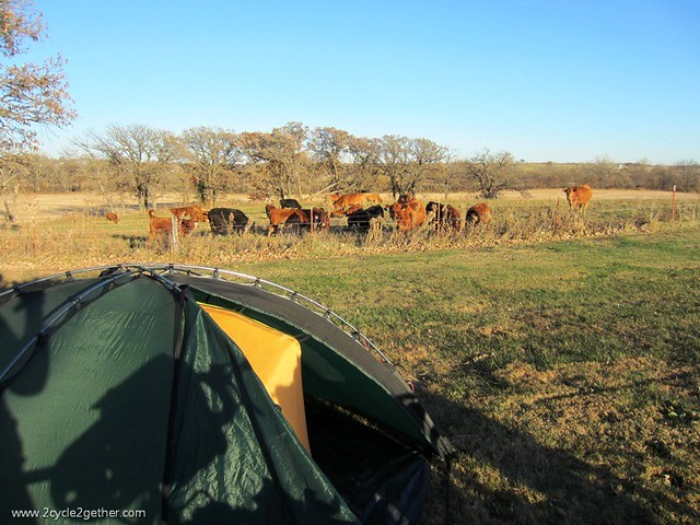 Cows watching us pitch our tent
