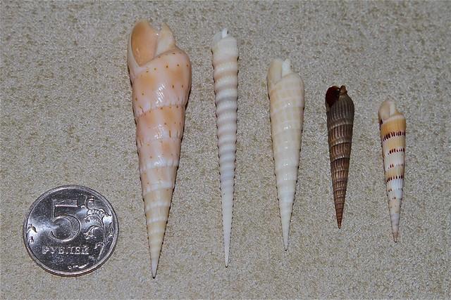Philippine Auger Shells (Terebridae)