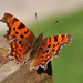 a comma butterfly in March - first day of spring
