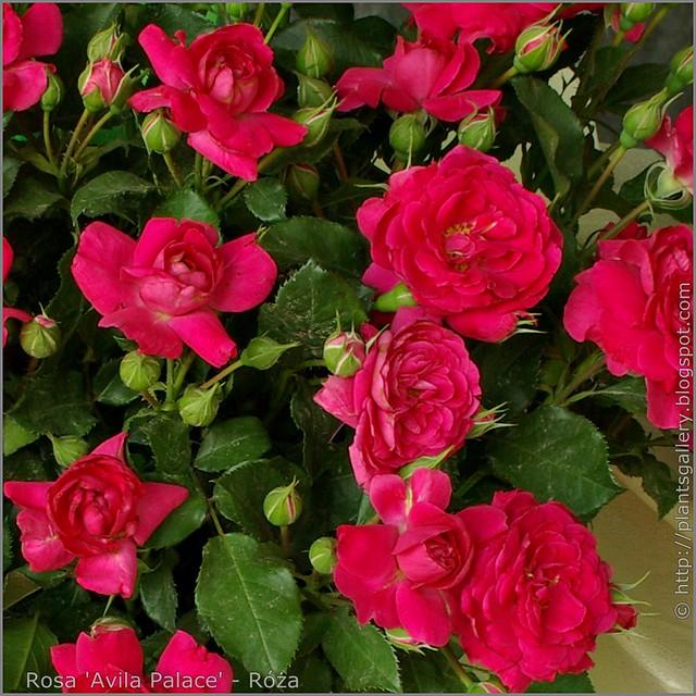 Rosa 'Avila Palace' - Róża 1