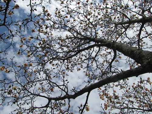 Merrill Star Magnolia frost damage by The Arboretum