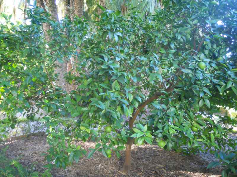Citrus sinensis 'Washington' 3