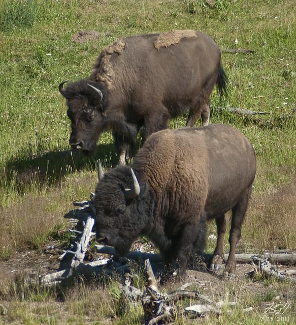 Two Buffalo