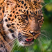 Small photo of Close-up of a leopard