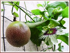 Flowering Passiflora edulis (Purple Passionfruit/granadilla) with ripened fruit