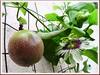 Passiflora edulis (Passion Fruit, Purple granadilla)