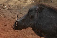 cattle-like mammal(0.0), rhinoceros(0.0), animal(1.0), mammal(1.0), horn(1.0), head(1.0), fauna(1.0), close-up(1.0), warthog(1.0), safari(1.0), wildlife(1.0),