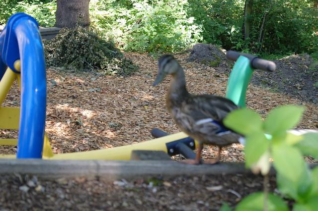backyard duck flickr photo sharing