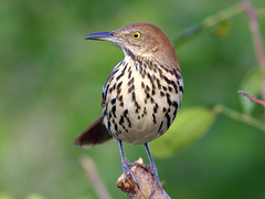 Brown Thrasher - Photo (c) Kenneth Cole Schneider, some rights reserved (CC BY-NC-SA)