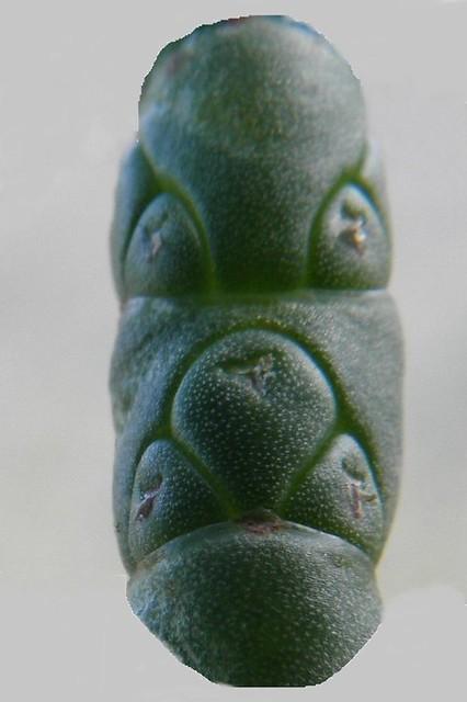 Sad looking Salicornia face