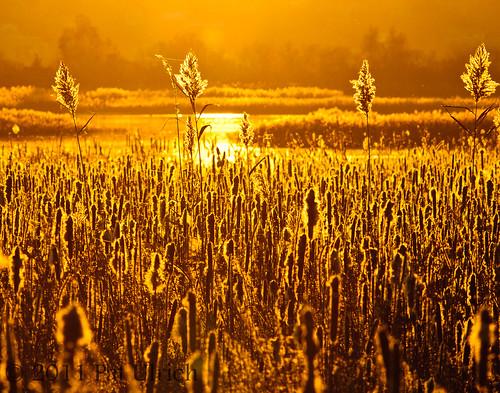reeds massachusetts cattails northshore backlit lowtide saltmarsh plumisland tamron200500 atsunset d90 parkerrivernationalwildliferefuge nikond90 tidalwetland ©patulrich fringelighting