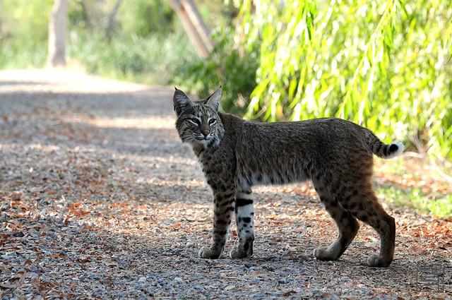bobcat_0148Bobcat, Tucson AZ, Nov 2011