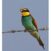 European bee-eater  ( Explored )