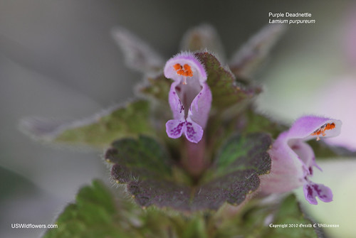 Purple Deadnettle, Red Deadnettle, Purple Archangel - Lamium purpureum