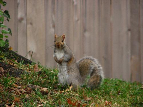 Squirrel - You Talkin' to me? by paynehollow