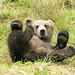 Small photo of Brown Bear Cub